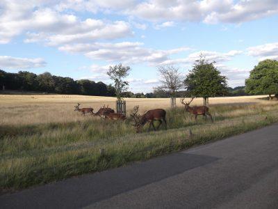 Cervi che brucano l'erba nel Richmond Park