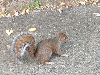 Uno scoiattolo cicciotto di Holland Park